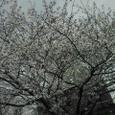 交番前の桜